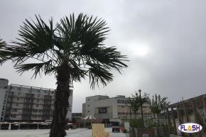 Limoges : 15 Palmiers sur la Place de la République pour « une ambiance estivale »